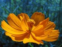 Flor del Coreopsis Fotos de archivo