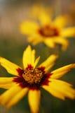 Flor del Coreopsis Fotografía de archivo