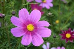 Flor del Coreopsis Imágenes de archivo libres de regalías