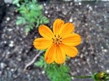 Flor del Coreopsis Imagenes de archivo