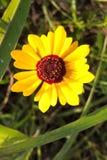 Flor del Coreopsis foto de archivo