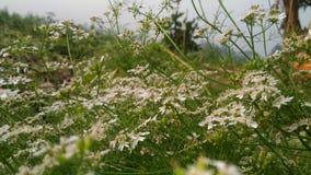 Flor del coriandro enfocado a partir del 10 cm Fotos de archivo libres de regalías