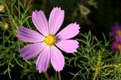 Flor del cosmos Foto de archivo libre de regalías