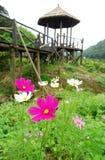 Flor del cosmos Foto de archivo