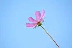 Flor del cosmos fotografía de archivo libre de regalías