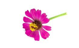 Flor del cosmos Fotos de archivo libres de regalías