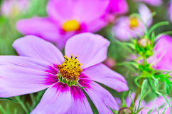 Flor del cosmos fotografía de archivo