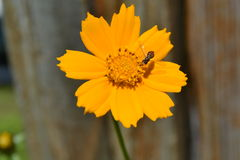 Flor del cosmos Imagen de archivo