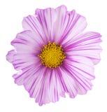 Flor del cosmos imagen de archivo libre de regalías