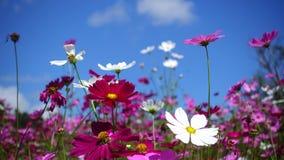 Flor del cosmos almacen de video
