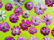 Flor del cosmos aislada en fondo verde fotografía de archivo libre de regalías