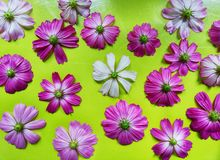 Flor del cosmos aislada en fondo verde fotos de archivo