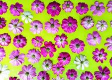 Flor del cosmos aislada en fondo verde foto de archivo libre de regalías