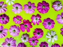 Flor del cosmos aislada en fondo verde imagenes de archivo
