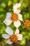 Flor del cosmos con descensos del agua Imagen de archivo libre de regalías