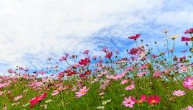 Flor del cosmos con el cielo azul Foto de archivo libre de regalías