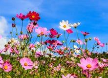 Flor del cosmos con el cielo azul Fotos de archivo libres de regalías