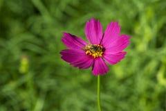 Flor del cosmos con la abeja Imágenes de archivo libres de regalías