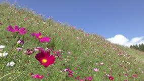 Flor del cosmos con la abeja almacen de metraje de vídeo