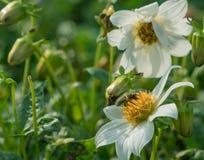 Flor del cosmos con la pequeña abeja Fotografía de archivo libre de regalías