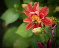 Flor del cosmos con la pequeña abeja Foto de archivo