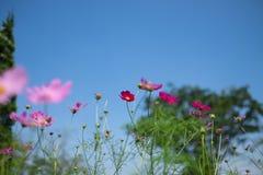 Flor del cosmos (cosmos Bipinnatus) con el fondo del cielo azul (Sele Imagenes de archivo