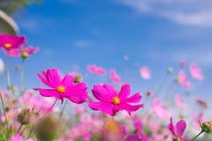 Flor del cosmos (cosmos Bipinnatus) con el fondo del cielo azul (Sele Imagen de archivo libre de regalías