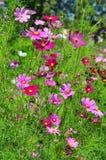 Flor del cosmos del azufre Fotografía de archivo