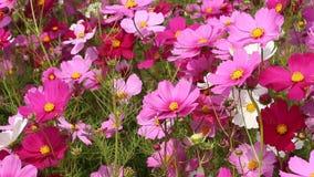 Flor del cosmos en campo con el soplo del viento metrajes