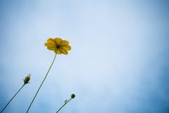 Flor del cosmos en el cielo azul Foto de archivo
