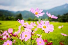 Flor del cosmos en luz del sol Imagen de archivo libre de regalías