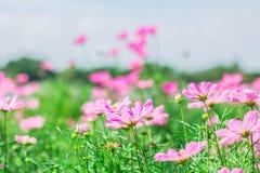 Flor del cosmos en un prado verde Foto de archivo