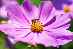 Flor del cosmos del primer con las abejas en el jardín Imagen de archivo