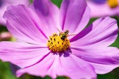 Flor del cosmos del primer en el jardín Imágenes de archivo libres de regalías