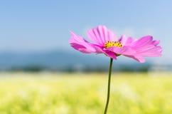 Flor del cosmos y cielo del otoño Imágenes de archivo libres de regalías