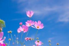 Flor del cosmos y x28; Cosmos Bipinnatus& x29; con el fondo del cielo azul y x28; Sele Foto de archivo libre de regalías