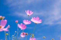 Flor del cosmos y x28; Cosmos Bipinnatus& x29; con el fondo del cielo azul y x28; Sele Imagenes de archivo