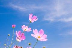 Flor del cosmos y x28; Cosmos Bipinnatus& x29; con el fondo del cielo azul y x28; Sele Fotografía de archivo