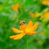 Flor del cosmos y una abeja. Fotografía de archivo