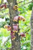 Flor del crescentia fotografía de archivo