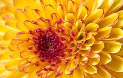 Flor del crisantemo Imagenes de archivo