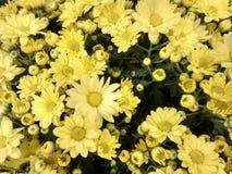 Flor del crisantemo - amarillo Imagen de archivo libre de regalías