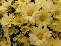 Flor del crisantemo - amarillo Foto de archivo