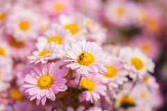 Flor del crisantemo con una abeja en jardín Fotos de archivo libres de regalías