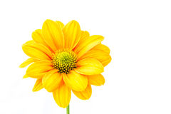 Flor del crisantemo del primer Fotografía de archivo libre de regalías