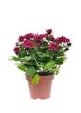 Flor del crisantemo en pote Fotografía de archivo libre de regalías