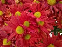 Flor del crisantemo - rojo Fotos de archivo libres de regalías