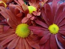Flor del crisantemo - rojo Imágenes de archivo libres de regalías