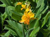 Flor del cultivar del daylily con colores rojos y amarillos del tigre en el primer del macizo de flores, foco selectivo, DOF bajo imágenes de archivo libres de regalías