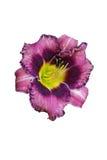 Flor del Daylily púrpura y amarilla. imágenes de archivo libres de regalías